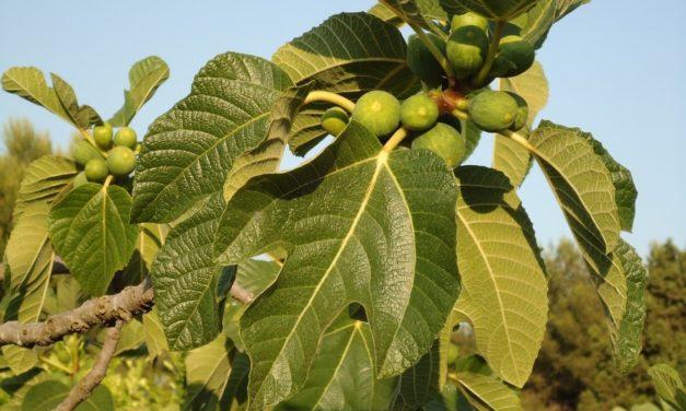 Jak drzewo figowe